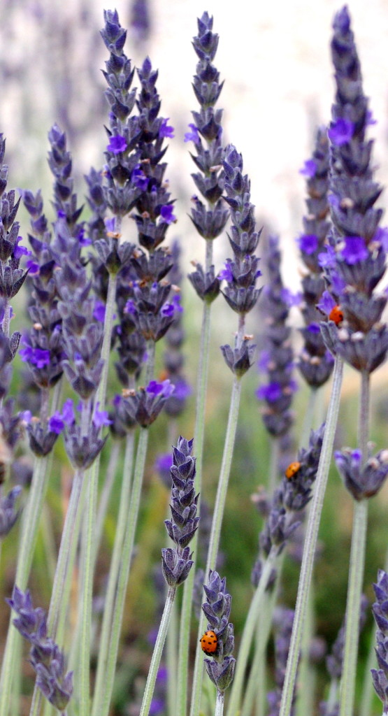 Lavender and ladybugs