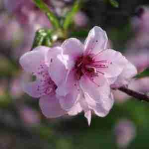 Almond Flowers 2-2