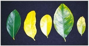 Lemon normal leaf on left