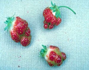 Strawberry-fruits-show-Boron-deficiency