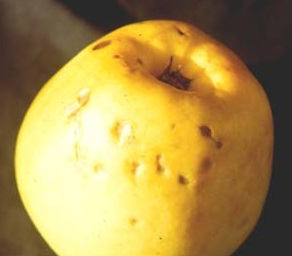 apple calcium deficiency is called bitterpit