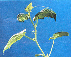 cucumber ca-deficiency