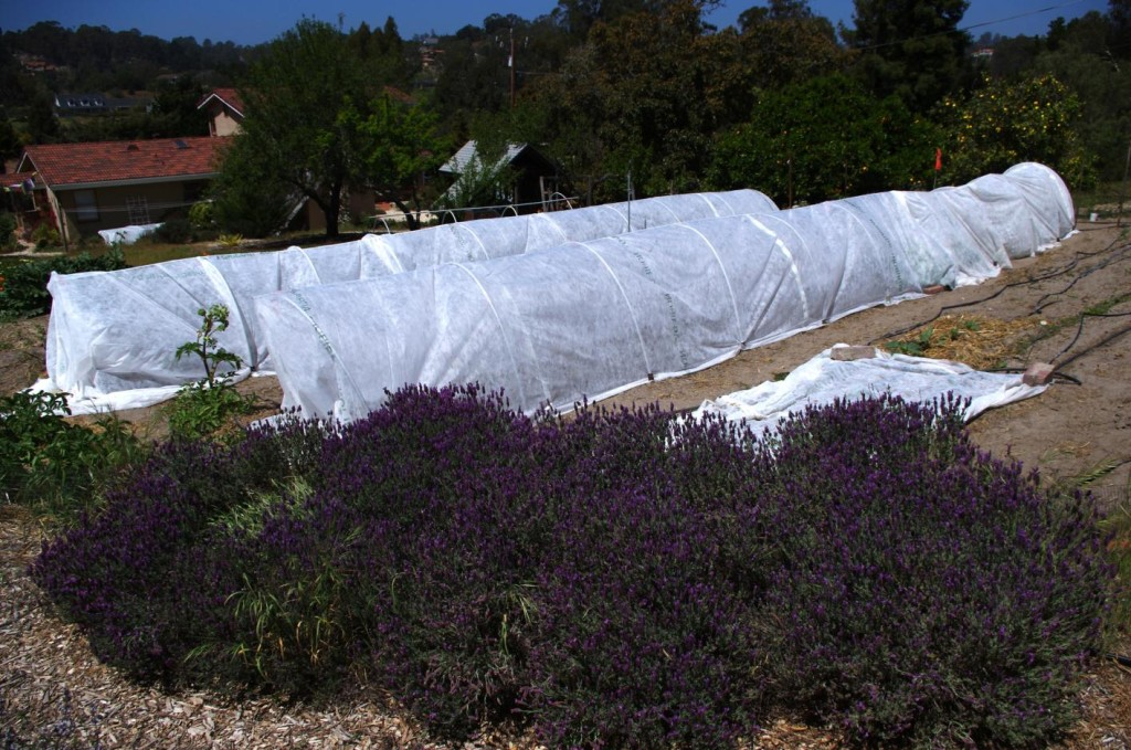 floating row cover tunnels in spring-1