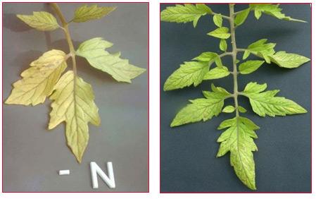 Nutrient Deficiencies - Grow Abundant Gardens