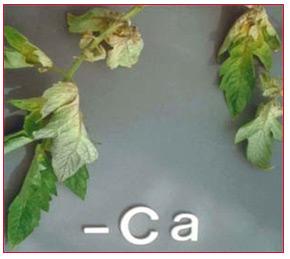 tomato leaf