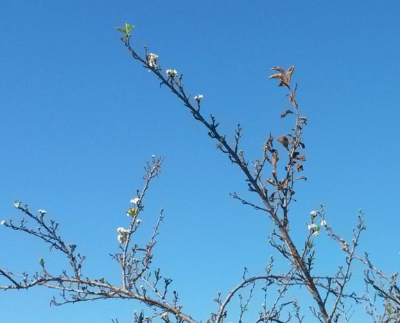 Plum blossoms in Oct