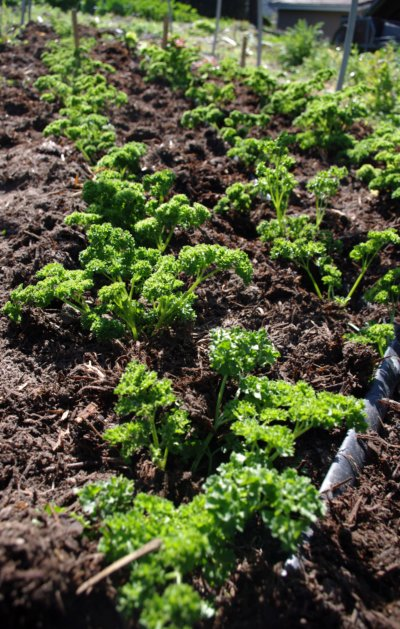 mulched parsley